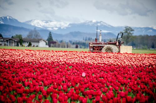Skagit Valley Tulips-81
