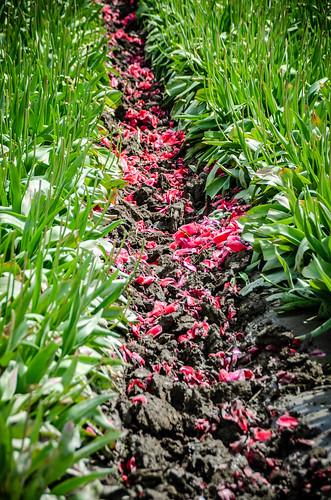 Skagit Valley Tulips-80