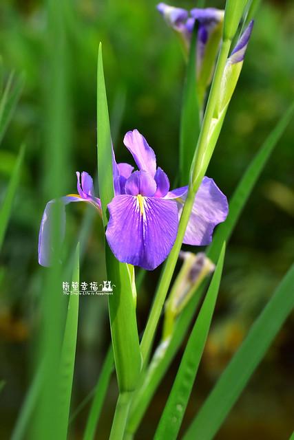 20180405 植物園-鳶尾花 (3), Nikon D5500, AF Zoom-Nikkor 35-70mm f/2.8