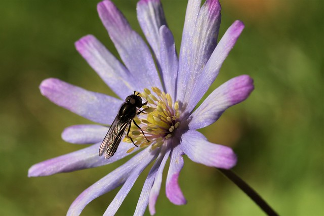 Syrphids