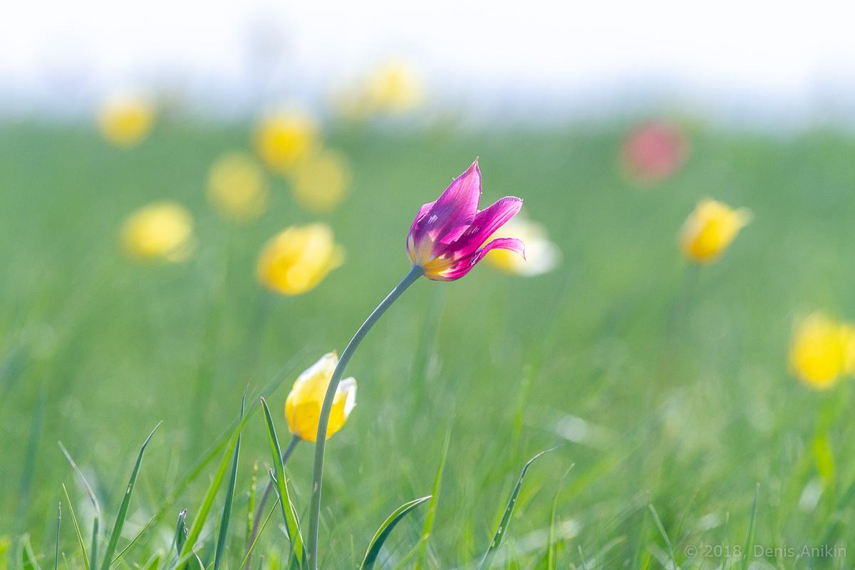 тюльпаны иваново поле фото 15