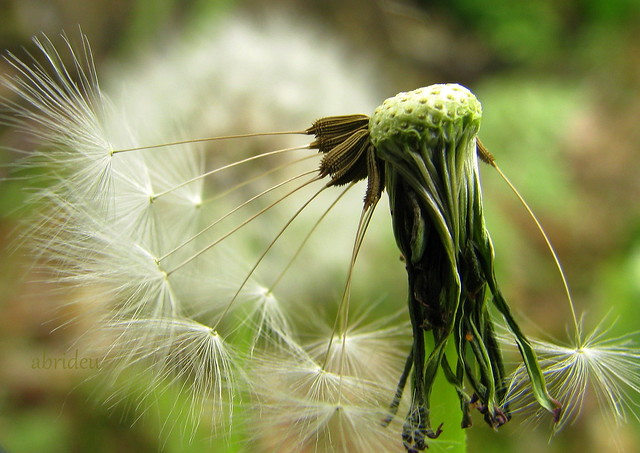 Dandelion Seedhead Macro