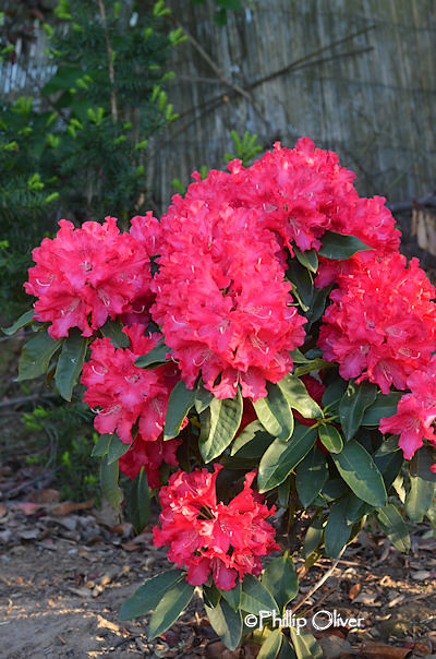 rhododendron-jean-marie-montague