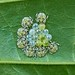 Eggs and Nymphs of Shield Bugs, Singapore by singaporebugtracker