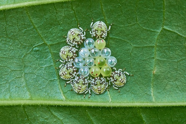 Eggs and Nymphs of Shield Bugs, Singapore