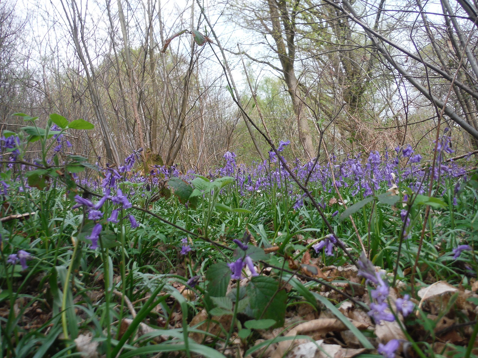 Bluebells in Spring Coppice SWC Walk 48 Haslemere to Midhurst (via Lurgashall or Lickfold)