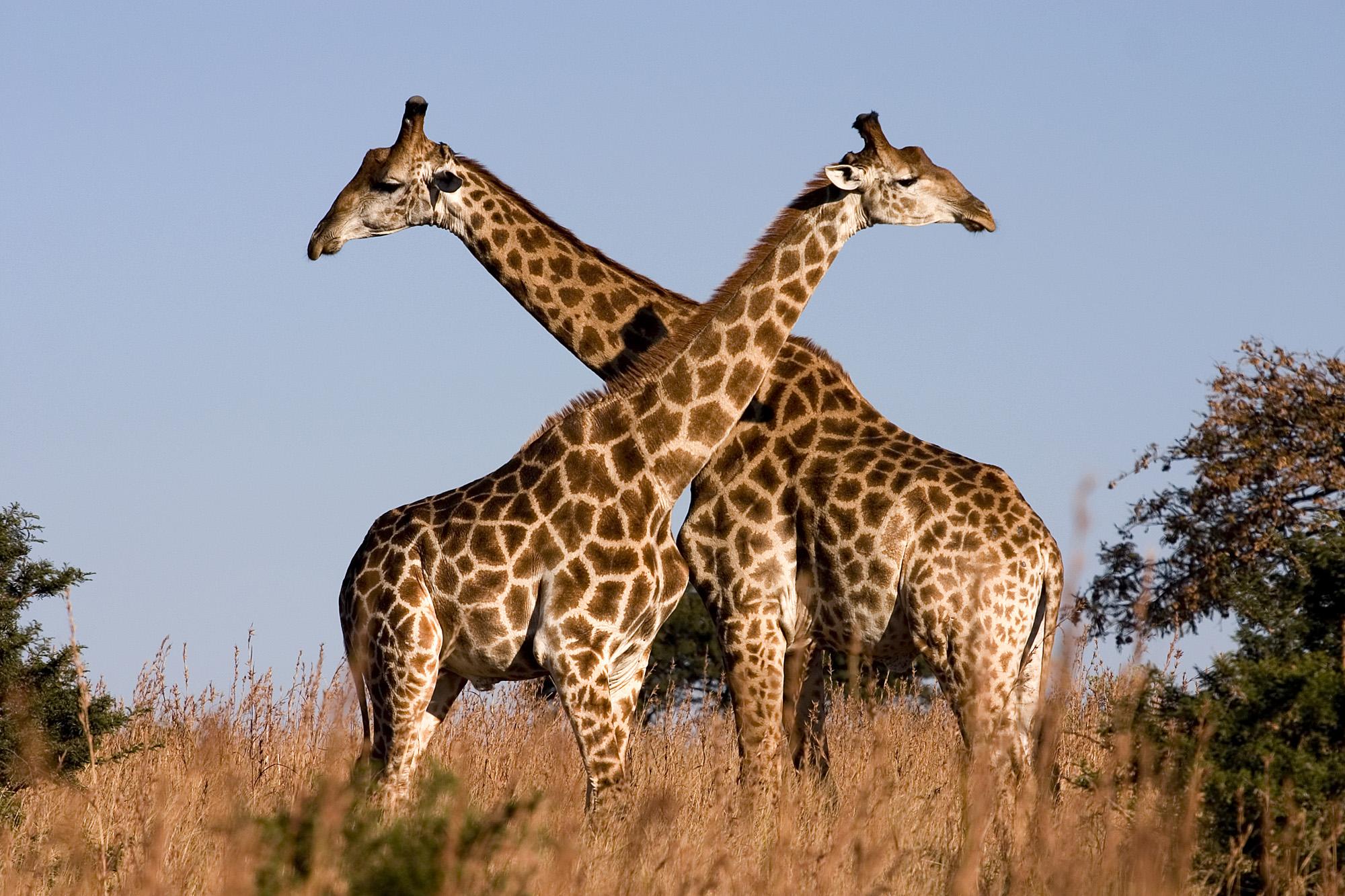 Fighting giraffes in Ithala Game Reserve, northern KwaZulu-Natal, South Africa. Photo taken on July 6, 2004.