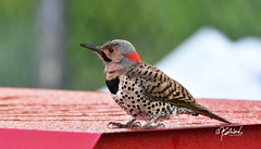 Northern Ohio woodpecker - London, Ontario