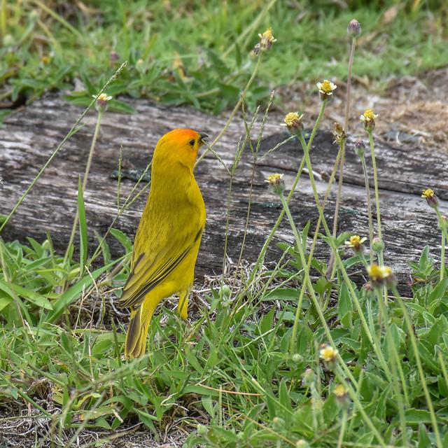 Saffron Finch, Panama