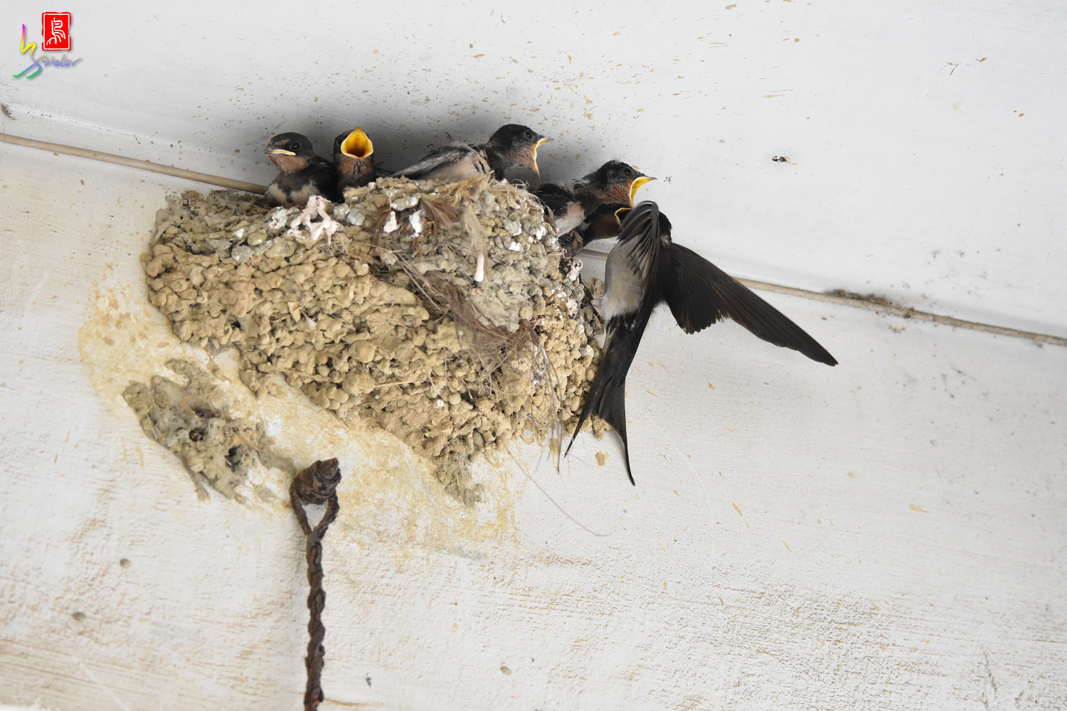 Barn_Swallow_7847