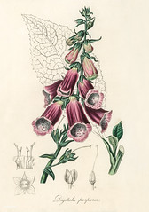 Antique illustration of digitalis purpurea