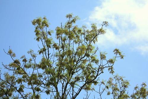 Fraxinus excelsior - frêne élevé, frêne commun 28166769848_e8cda894db