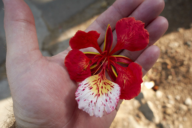 Poinciana flower