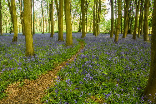bluebells badburyclump faringdon oxfordshire sunrise sun trees clump wood purple flowers woodland canoneos760