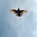 Common starling (Sturnus vulgaris) 4 by BenjaminMichaelMarshall