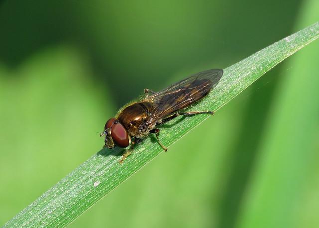 Platycheirus peltatus agg.