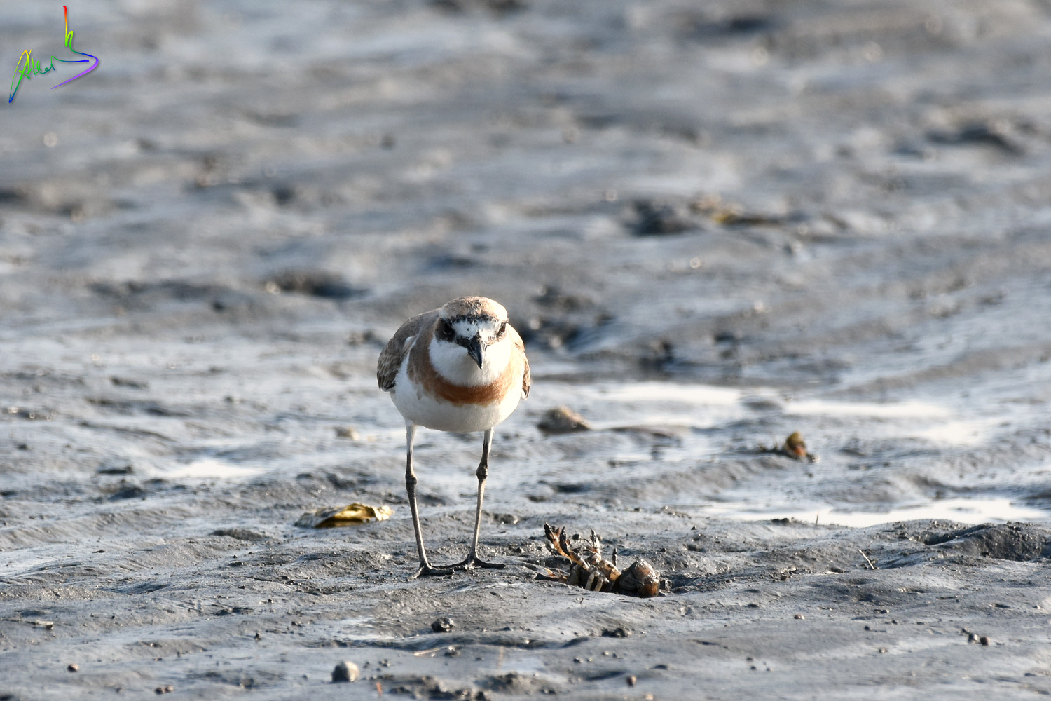 Greater_sand_plover_2458