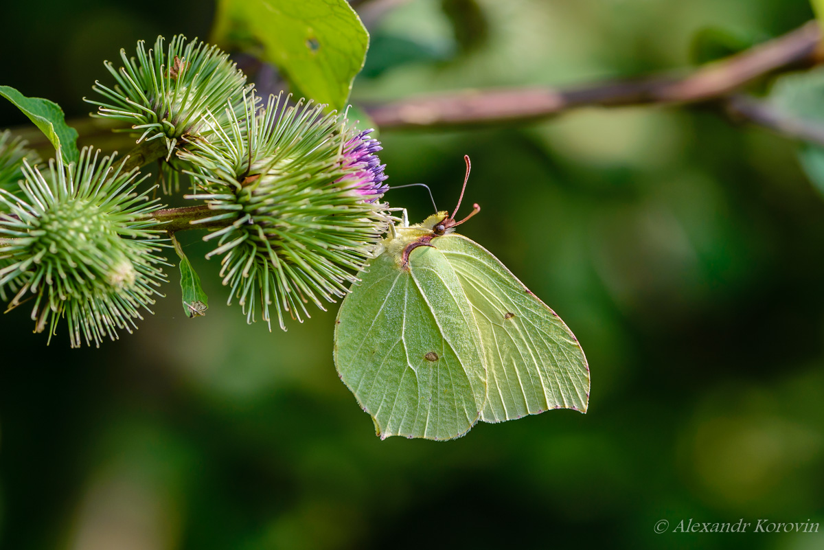Butterfly of lemongrass gathers nectar from prickly buds of burdock