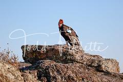 California_Condor-264