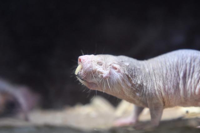 Naked mole-rat / ハダカデバネズミ