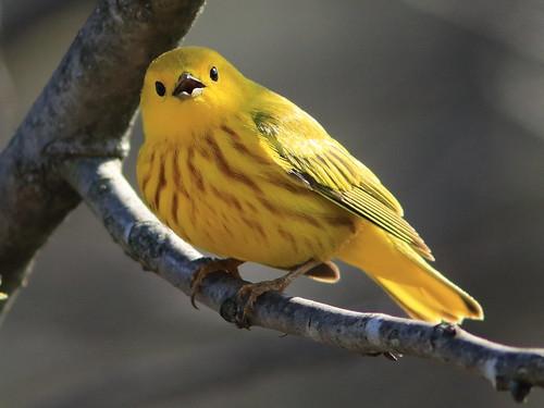 Yellow Warbler 05-20180505
