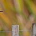 Sacred Kingfisher 98
