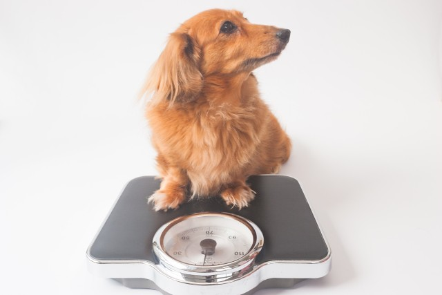 カロリーを抑えたおやつを食べる犬
