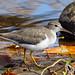 Spotted sandpiper - Chevalier grivelé - Andarríos maculado - Actitis macularius