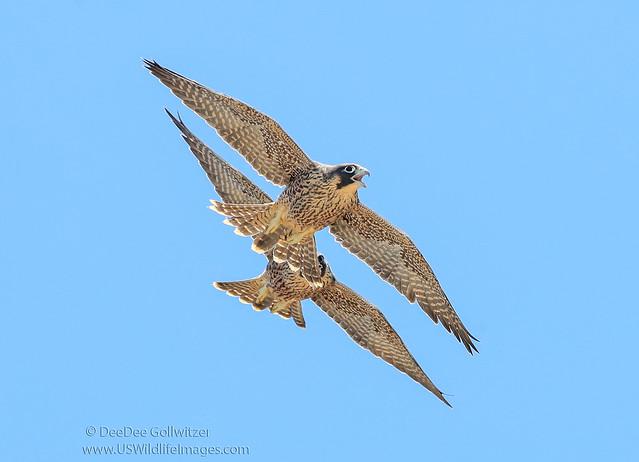 Fledgling Peregrine Falcon Aerial Maneuvers