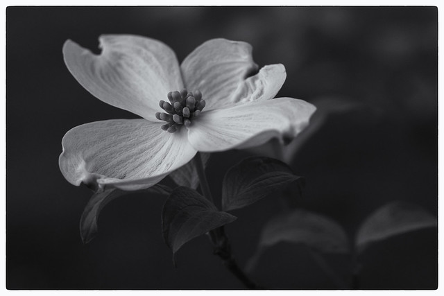 Dogwood in  Bloom, Canon EOS 6D, Canon EF 100mm f/2.8 Macro