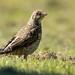 mistle thrush - fledgling
