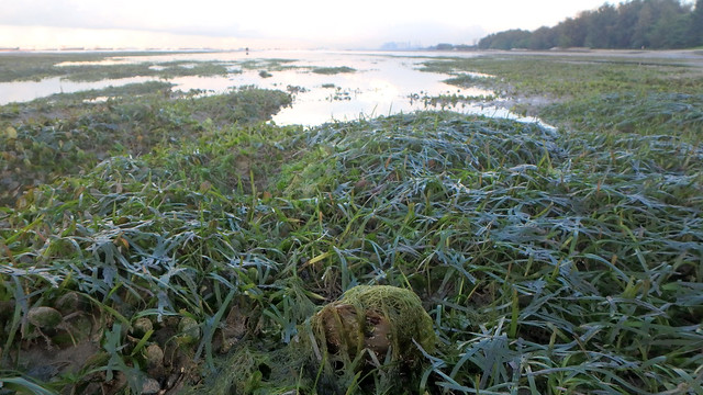 Living seagrass meadows of East Coast Park