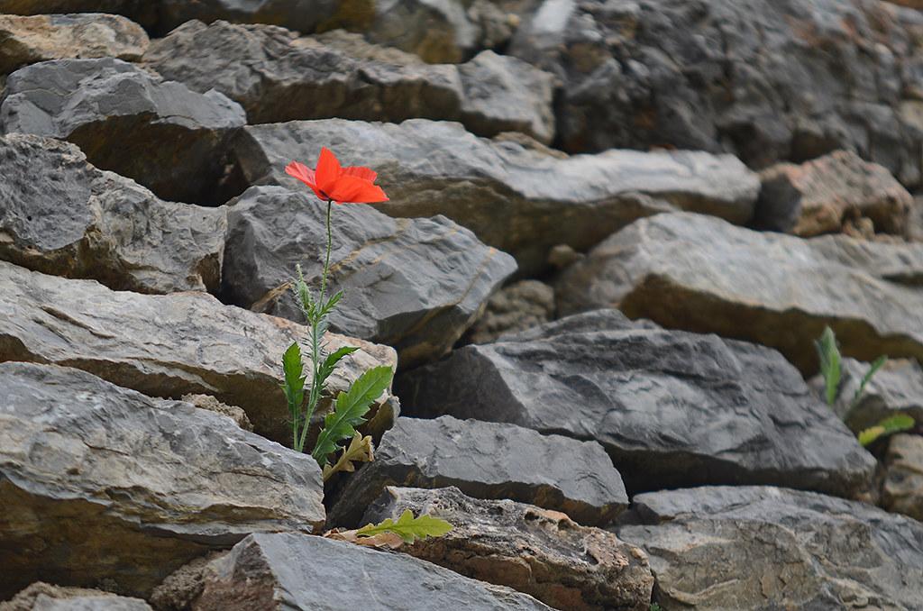 Poppies 05