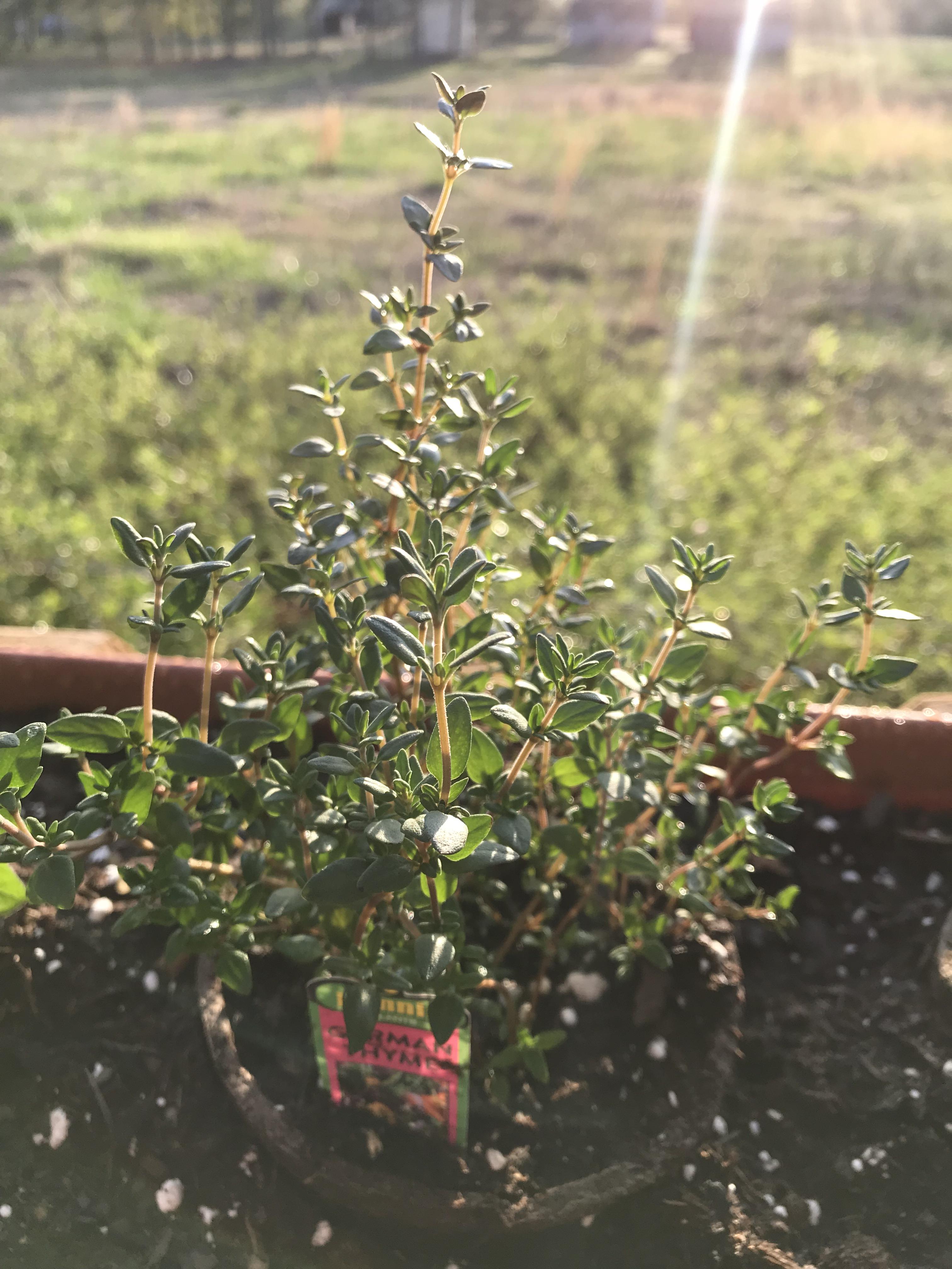 herb garden (49)