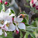 bee_on_apple_blossom-20180422-100
