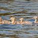 Geese with goslings by Rebecca Polak
