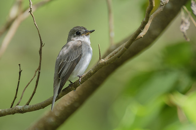 Asian Brown Flycatcher Muscicapa, Fujifilm X-T2, XF100-400mmF4.5-5.6 R LM OIS WR + 1.4x