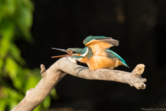 20180503-kingfisher-DSC_1196