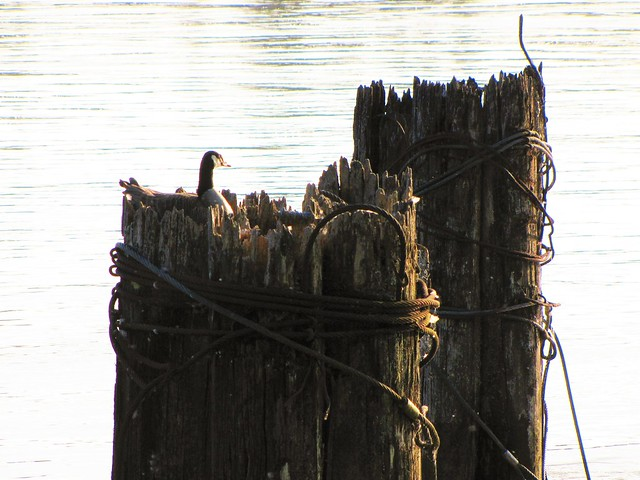 Goose on Pilings in, Canon POWERSHOT SX1 IS