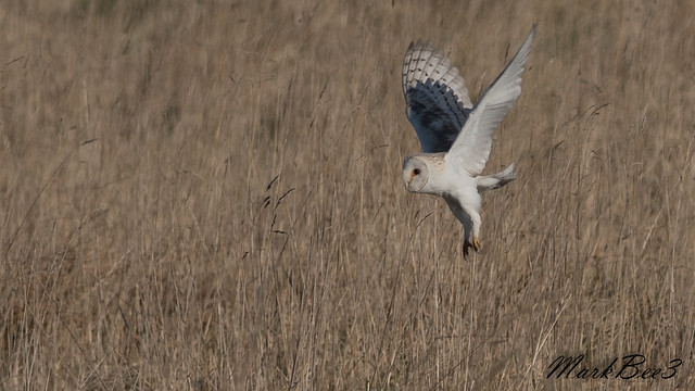 Barn owl, Nikon D500, AF-S VR Nikkor 300mm f/2.8G IF-ED