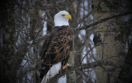 Bald Eagle Teal River Chequenmagon N.F.