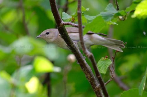 Garden Warbler, Fauvette des jardins (Sylvia borin) - Battice, BELGIUM
