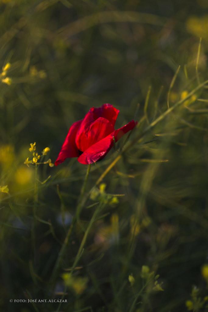 Amapola entre hierbas