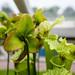Carnivorous Pitcher Plant (Sarracenia) 6010