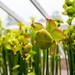 Carnivorous Pitcher Plant (Sarracenia) 6009