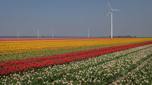 Tulip field Holland