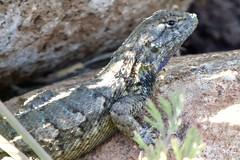Profile of a lizard