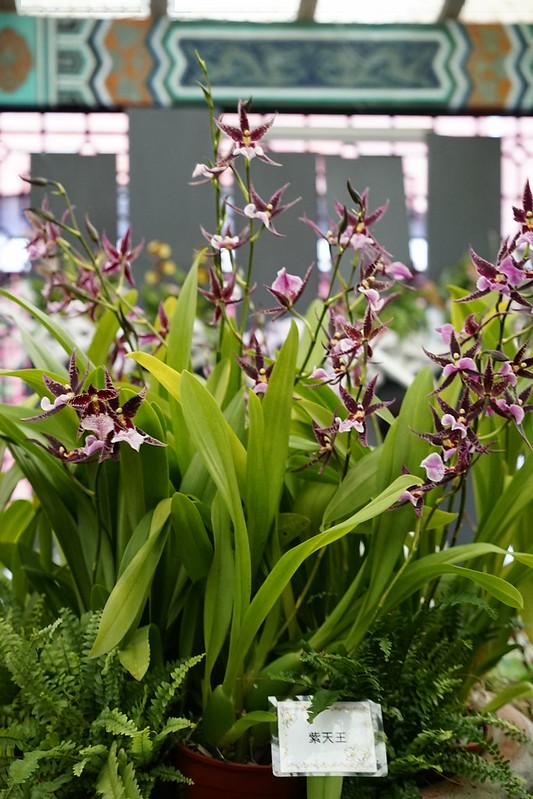 紫天王文心蘭
