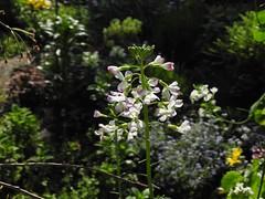 大根の花 2018-12