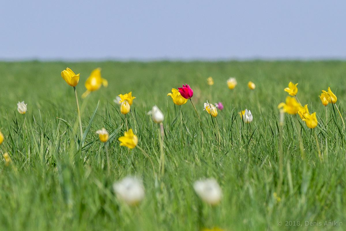 тюльпаны иваново поле фото 12